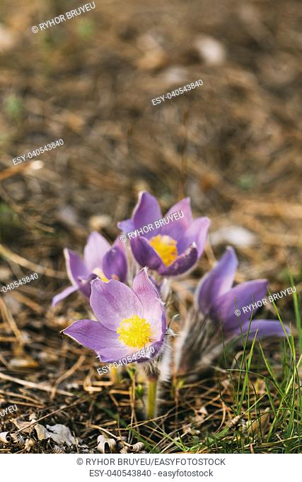 Wild Spring Flowers Pulsatilla Patens. Flowering Plant In Family Ranunculaceae, Native To Europe, Russia, Mongolia, China, Canada And United States
