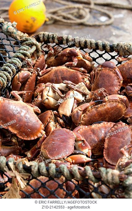 Fresh crab catch being retrieved from harbour waters before packing for european markets. Gourdon Harbour Scotland UK