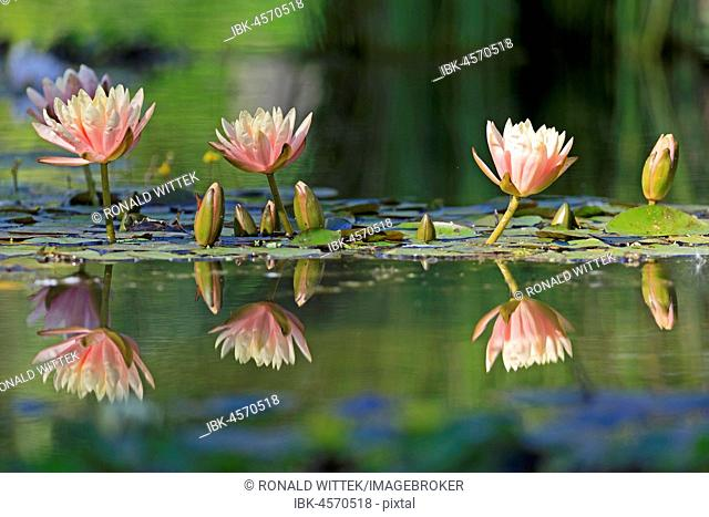 Pink Water lilies (Nymphaea) reflected in the water, Germany