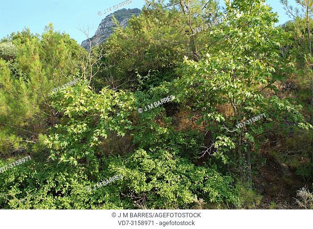 Oriental plain (Platanus orientalis) is a deciduous tree is native to east European Basin and Asia. This photo was taken in Dilek Peninsula, Turkey