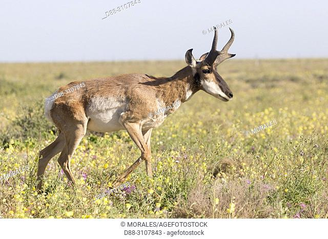 Central America, Mexico, Baja California Sur, Baja California Desert National Park., Guerrero Negro, Baja California pronghorn or peninsular pronghorn...