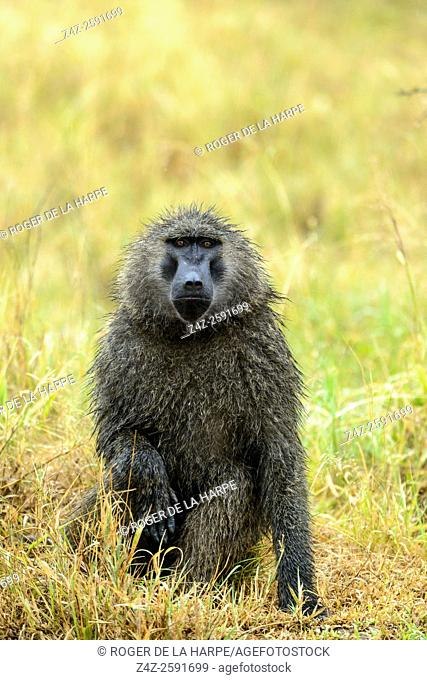 Wet olive baboon (Papio anubis) in the rain. Serengeti National Park. Tanzania