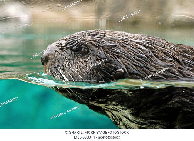 Otter (lutra canadensis)