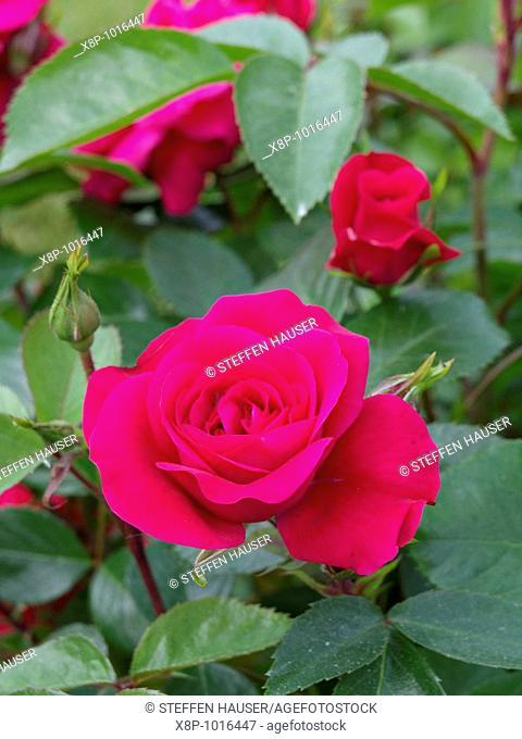 Rose Rosa Sonia Meilove