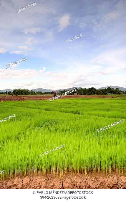 Rice fields of Luang Namtha, Laos