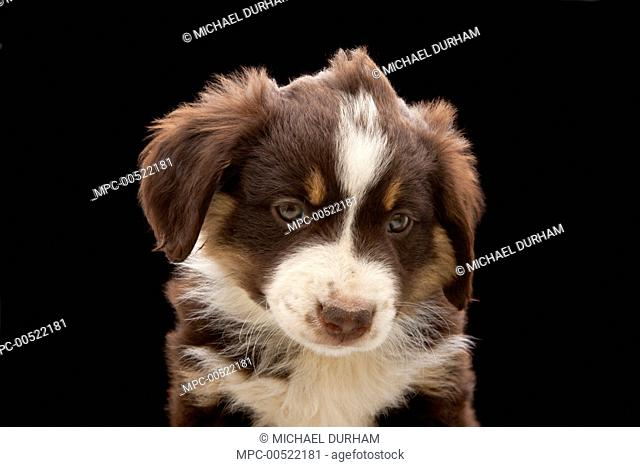 Domestic Dog (Canis familiaris) nine week old mixed breed sheepdog puppy, western Oregon