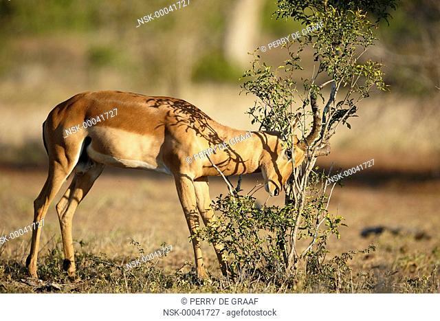 Impala (Aepyceros melampus) horning against shrub, South Africa, Mpumalanga, Kruger National Park