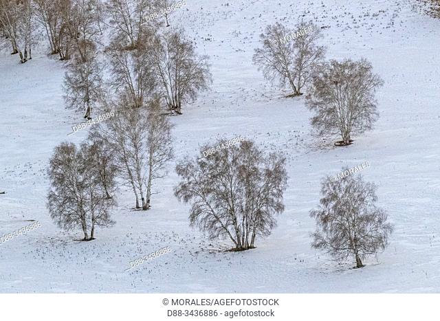 China, Inner Mongolia, Hebei Province, Zhangjiakou, Bashang Grassland, Birch forest