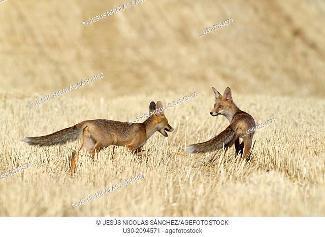 Couple of foxes walking in a wheat field in summer. Salamanca Province. Castilla y León. Spain