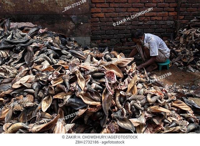 DHAKA, BANGLADESH - SEPTEMBER 14 : Bangladeshi worker stores and process skins of animals slaughtered during the Eid Al Adha at a Leather factory in Dhaka
