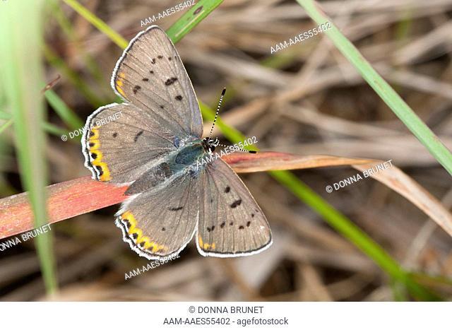 Female Gray Copper (Lycaena dione) perches in grassland habitat. Macon County, Missouri, 20 June 2009