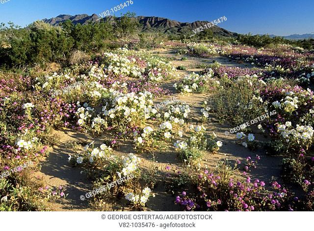 Sand verbena & Desert primrose, Desert Lily Sanctuary, CA