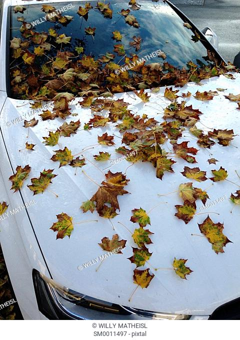 Parked car, covered with autumn leaves of a maple tree, Bavaria, Germany, Europe