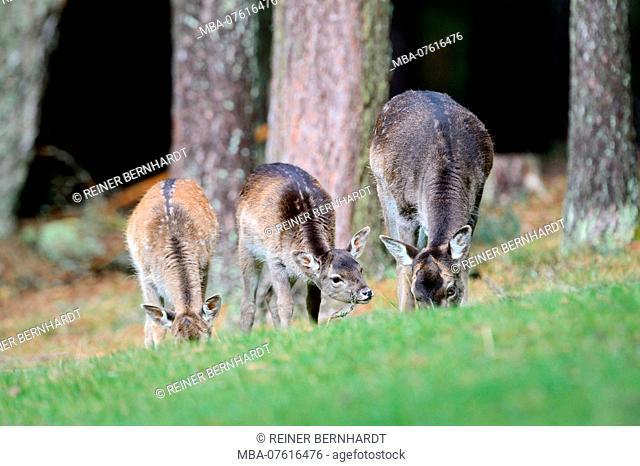 Fallow deer, fallow deer grazing at the forest edge