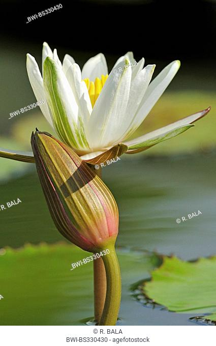 white water-lily, white pond lily (Nymphaea alba), flowering and with a closed bud, Germany