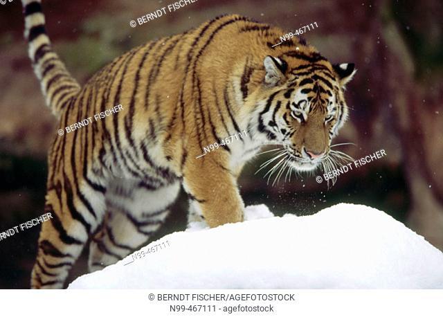 Chinese tiger (Panthera tigris amurensis) walking in snow. Winter. Zoo of Nuremberg. Germany
