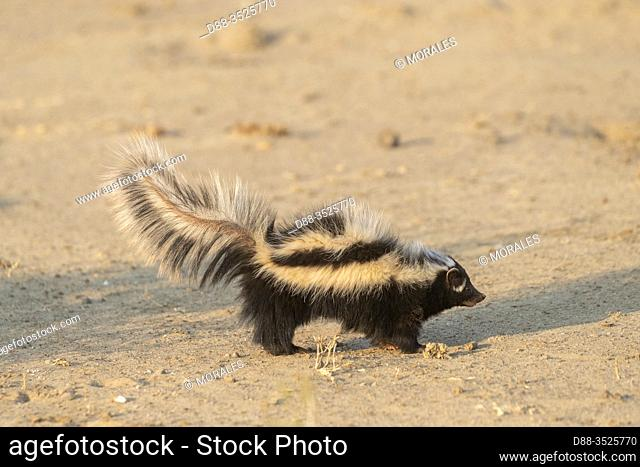 Africa, Namibia, Private reserve, Striped polecat or African Polecat (Ictonyx striatus), captive