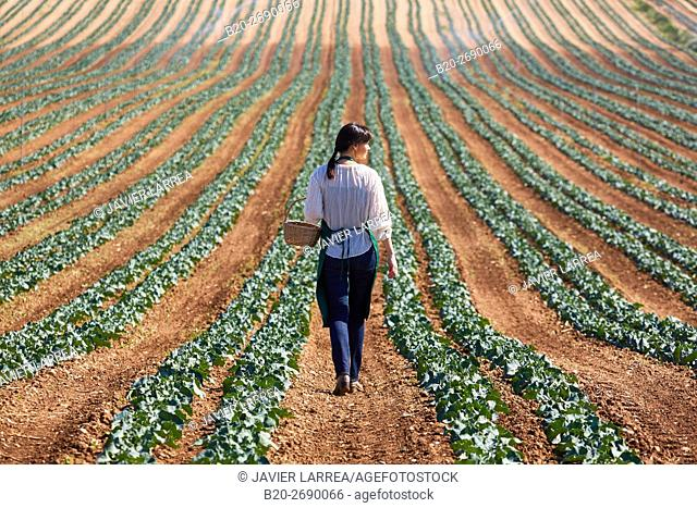 Farmer, Broccoli, Agricultural field, Funes, Navarre, Spain