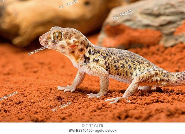 Roborowski's Frog Eyed Gecko (Teratoscincus roborowski), on red sand
