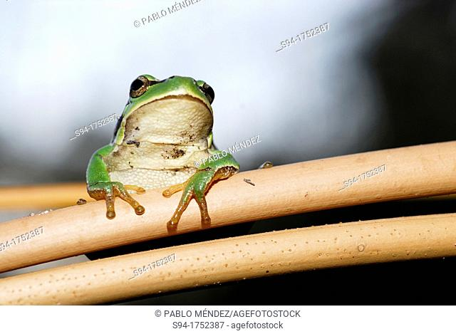 "San Antonio treefrog """"Hyla molleri"""" on branches of Cantalejo, Segovia, Spain"