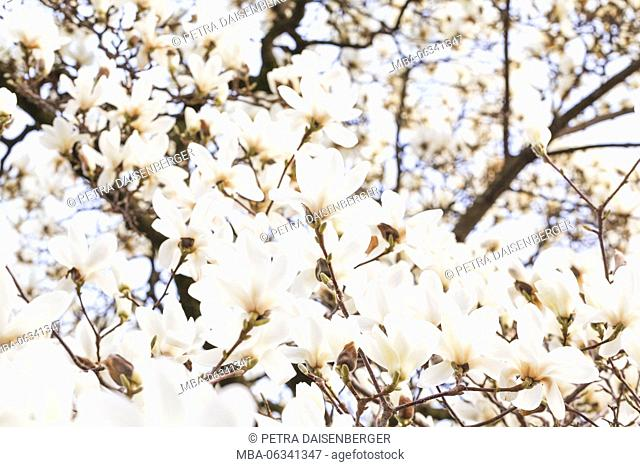 A white magnolia tree (Magnoliaceae) in full flowerage. close-up