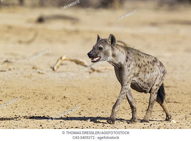 Spotted Hyaena (Crocuta crocuta). Walking towards a waterhole. Kalahari Desert, Kgalagadi Transfrontier Park, South Africa