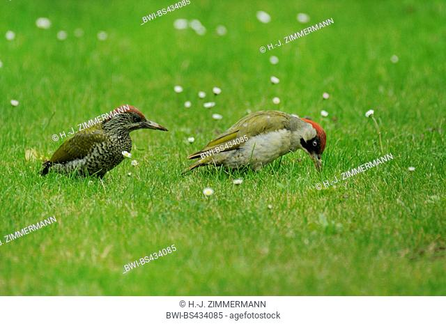 green woodpecker (Picus viridis), adult and juvenile on the feed in a meadow, Germany, Rhineland-Palatinate