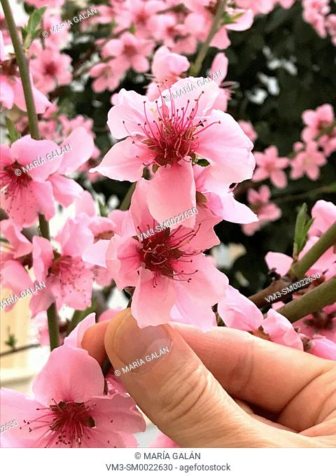 Man's hand holding a flower of almond tree. Close view