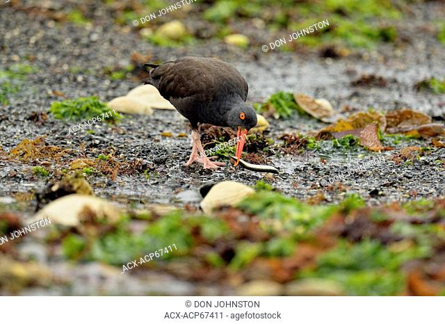 Black Oystercatcher (Haematopus bachmani) with captured fish at low tide in Burnaby Narrows, Haida Gwaii (Queen Charlotte Islands), British Columbia, Canada