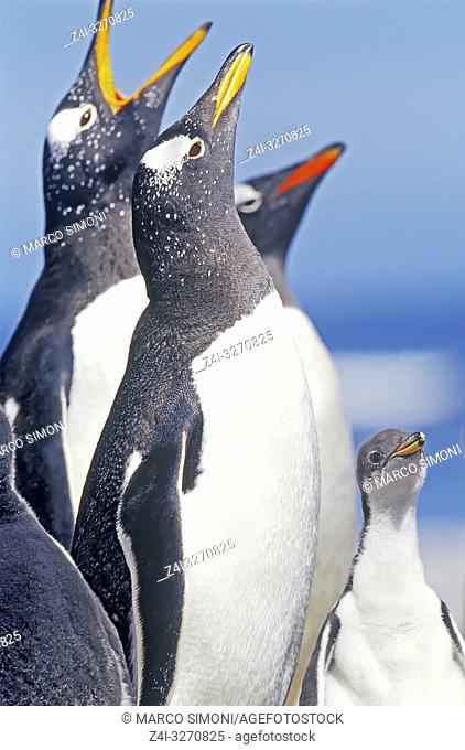 Gentoo Penguins (Pygocelis papua papua) singing, Sea Lion Island, Falkland Islands, South Atlantic, South America