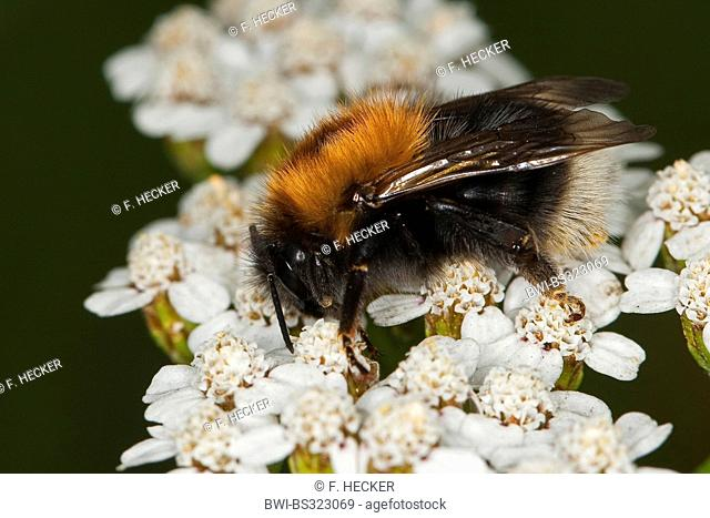 Tree Bumblebee, New Garden Bumblebee (Bombus hypnorum, Psithyrus hypnorum), sitting on yarrow, Germany