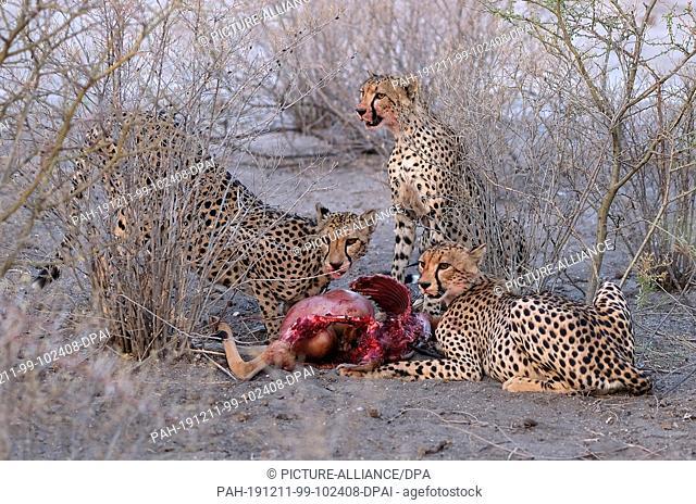 28 November 2019, Namibia, Etosha-Nationalpark: Cheetahs eat an antelope in Etosha National Park. Photo: Oliver Berg/dpa