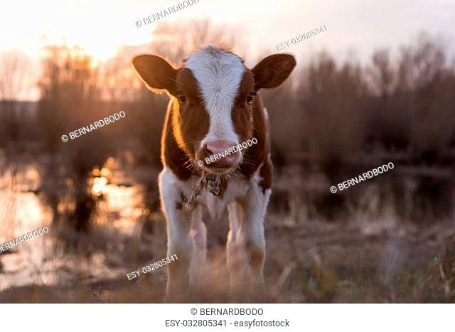 Calf cow standing on the field near the swamp at sunset and looking at the camera. Selective focus, narrow depth of field