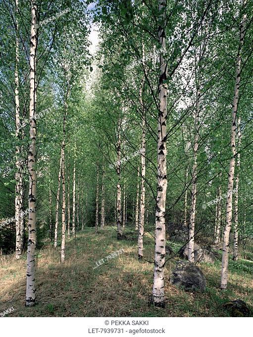 Birch forest in springtime in the village of Hyvinkää, southern Finland