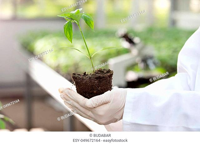 Close up of seedling in agronomist's hands with gloves and white coat in greenhouse with microscope in background. Plant protection and productivity improvement...