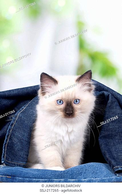 Ragdoll. Kitten sitting under a denim jacket. Germany