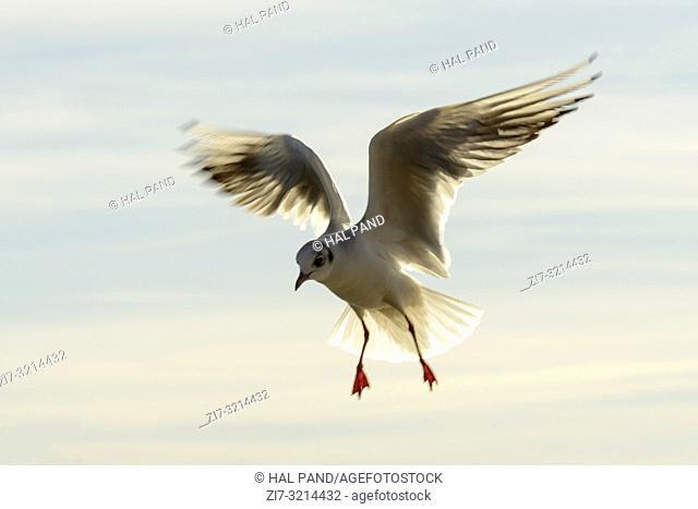 gull skillfully hovering in sunlight at Verbano lake, shot in bright winter light at Angera, Verbano, Varese, Lombardy, Italy