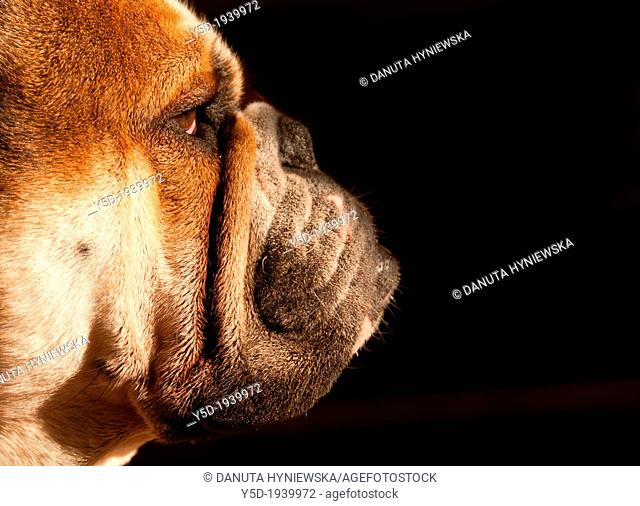 portrait of English bulldog, close-up, side view