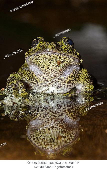 Vietnamese Moss Frog (Theloderma corticale) Captive. Native to Vietnam, Laos, China, Reptilia reptile zoo, Vaughan, Ontario, Canada