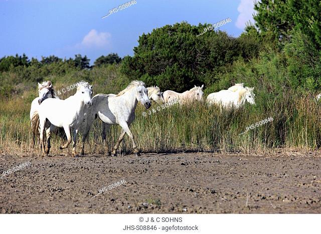 Camargue Horse,Equus caballus,Saintes Marie de la Mer,France,Europe,Camargue,Bouches du Rhone,group of horses
