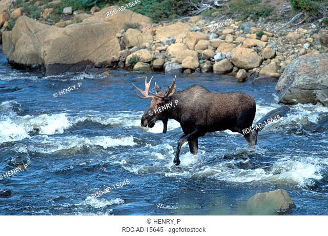 Moose bull crossing river Gros Morne national park Newfoundland Canada Alces alces