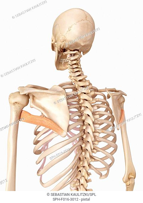 Illustration Of The Teres Major Muscle Stock Photos And Images Age