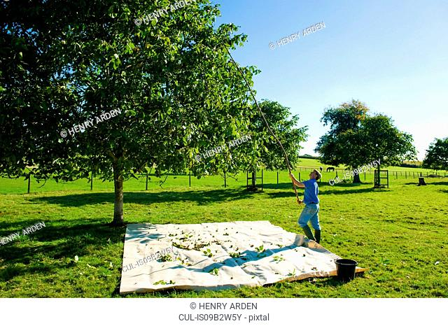 Man retrieving walnuts from tree with pole in walnut grove