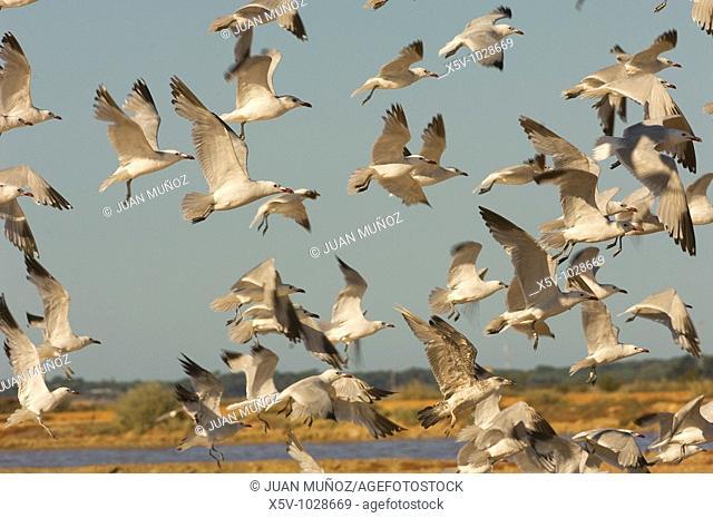 Audouin's gull (Larus audouinii). Odiel Marshes Natural Place. Huelva. Andalucia. Spain