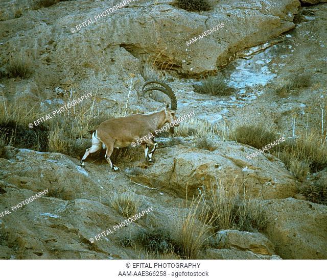 Nubian Ibex in Israel, Negev Desert (Capra ibex nubiana) great male in warm season