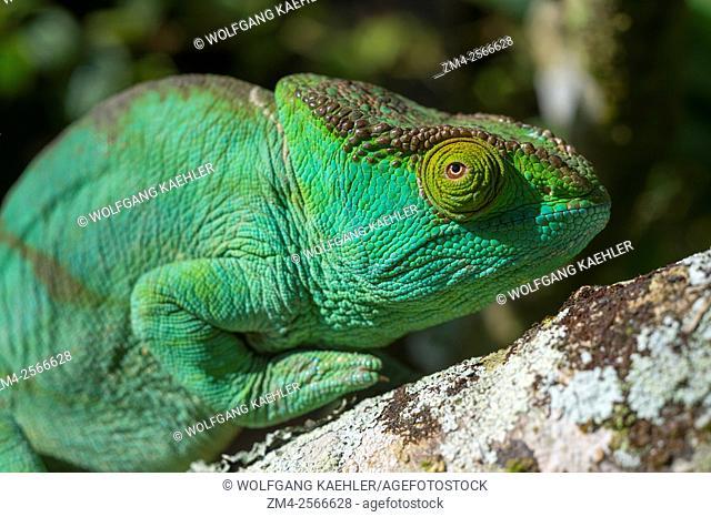 Female Parson's chameleon (Calumma parsonii) at Mandraka Reserve near Moramanga, Madagascar