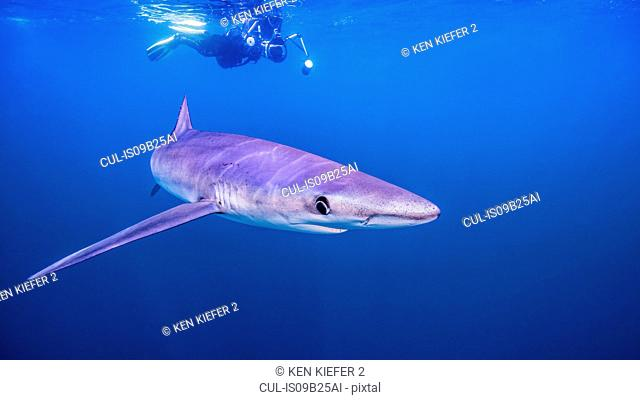 Underwater view of diver swimming above shark, San Diego, California, USA