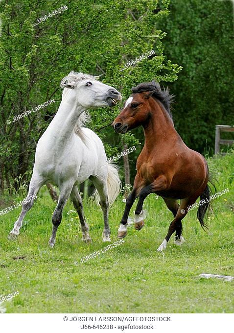 Lusitano and Gotland horses. Sweden
