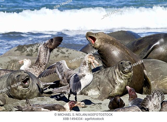 Northern giant petrel Macronectes halli fighting over the scavenging rights to a dead elephant seal pup at Royal Harbor on South Georgia Island
