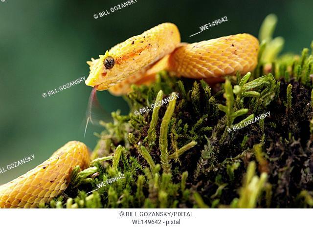 Eyelash Viper (Bothriechis schlegelii) - Laguna del Lagarto Lodge, Boca Tapada, Costa Rica [Controlled Specimen]